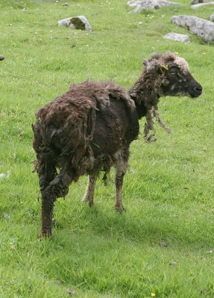 Ragged Soay sheep