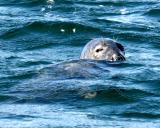 Grey Seal at the Monach Isles