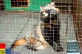 Jilin �林 - 浣熊 Raccoon