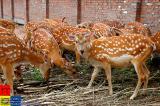 Jilin �林 - Deer