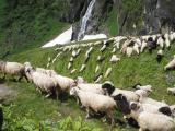 Sheep at 4000m
