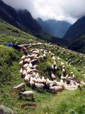 Sheep descending.jpg