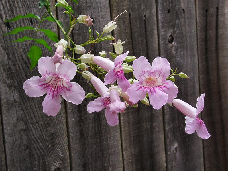 Pink Trumpet Vine (Tecoma ricasoliana)