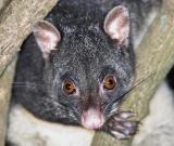 Campground possum - Bunya Mtns