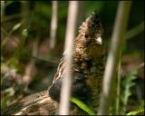 Ruffed Grouse female 5306.jpg
