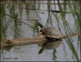 Painted Turtle 5588.jpg