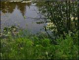 Catbird by the pond 6439.jpg