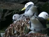 IMG_6545 Black-legged Kittiwake with chick.jpg