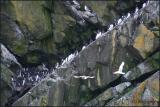 IMG_6608 Murres on Great Island.jpg