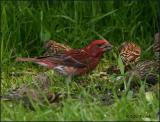 IMG_6633 Purple Finch.jpg