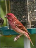 IMG_6635 Purple Finch male.jpg