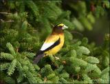 IMG_6640 Evening Grosbeak male.jpg