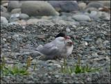 IMG_6889 Arctic Tern with young.jpg