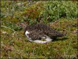 IMG_6924 Willow Ptarmigan.jpg