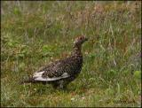 IMG_6956 Willow Ptarmigan.jpg
