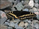 IMG_7002 Short-tailed Swallowtail.jpg