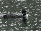 IMG_7067 Common Loon.jpg