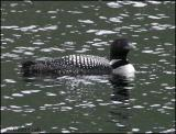 IMG_7069 Common Loon.jpg