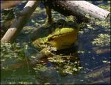 IMG_7432 Bullfrog.jpg