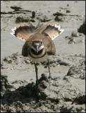 IMG_7492 Killdeer.jpg