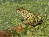 IMG_7676 Northern Leopard Frog.jpg