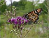 IMG_7845 Monarch.jpg