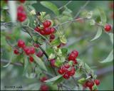 IMG_8004 Honeysuckle Berries.jpg