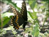 IMG_8238 Black Swallowtail laying eggs.jpg