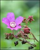 IMG_8480 Purple Flowering Raspberry.jpg