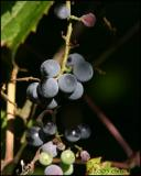 IMG_8521 Wild Grapes.jpg