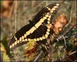 IMG_8796 Giant Swallowtail.jpg
