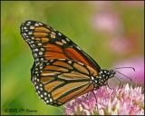 CRW_9196 Monarch.jpg