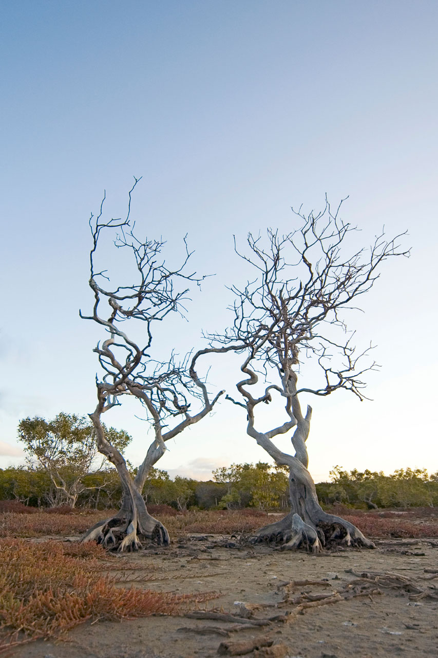 Twisted Sisters mangroves 12 by 18  _DSC4924