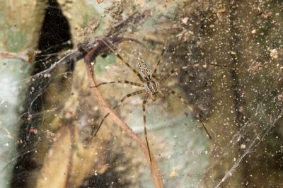 social web building spider on strangler fig, Kirrama Range, 2005 (_DSC1500)