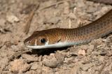 Legless lizard Delma mitella Kirrama 2005 _DSC1564
