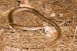 legless lizard delma tincta kirrama 2005 _DSC1586