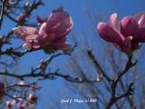 Tulip Tree Tales.