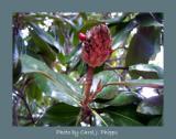 Magnolia Fall Tree Bloom
