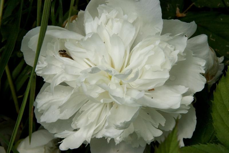 White Peony with ant