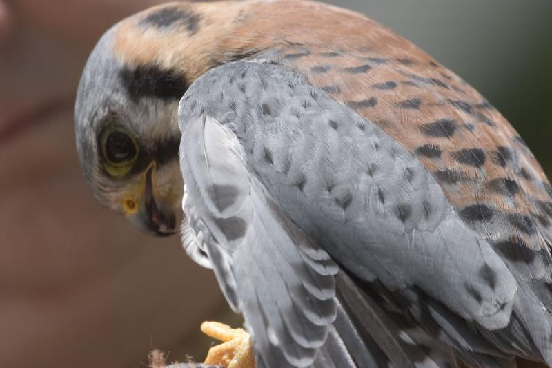 Kestrel Close Up