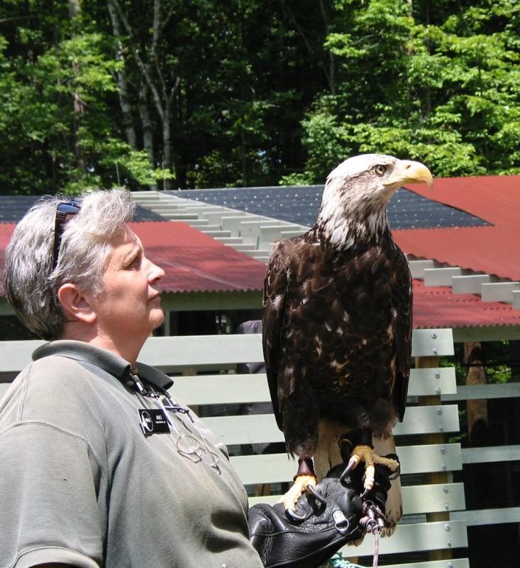 Immature Bald Eagle with Alice