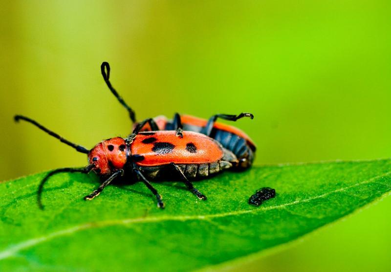 Red Milkweed Beetles (Tetraopes tetraopthalmus)