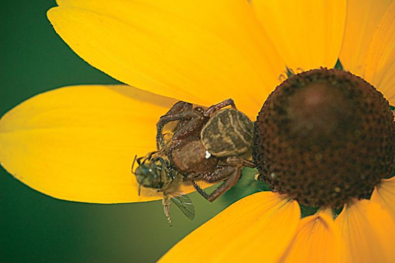 Spider eating honeybee