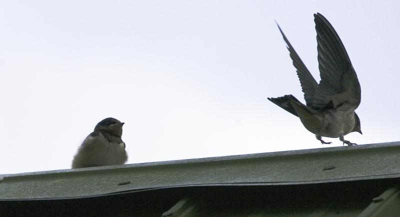 Barn Swallows JUMP!