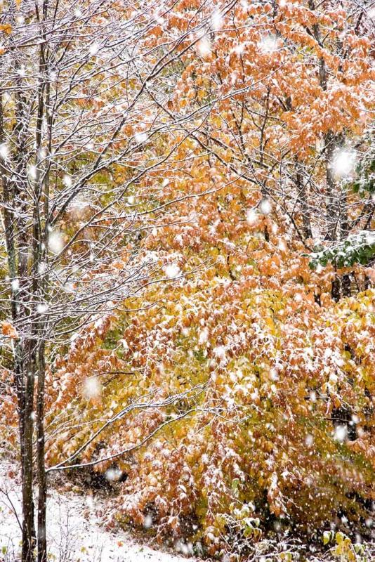 Maples and Snow