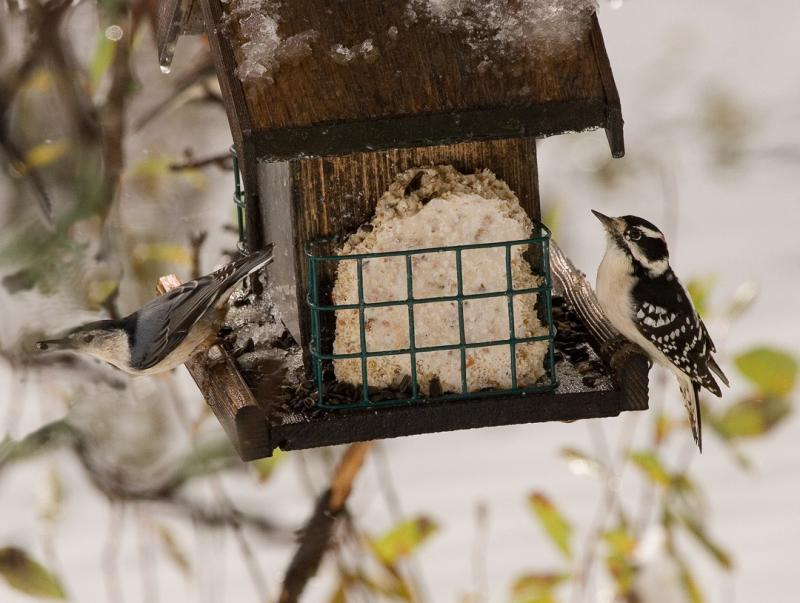 Nuthatch and woodpecker