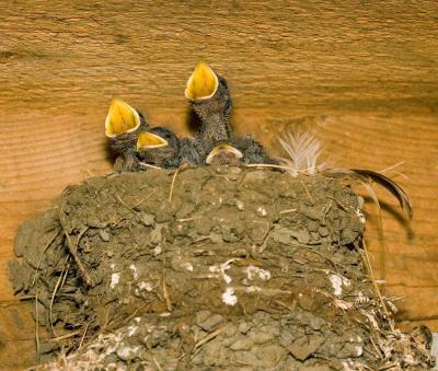Garage Baby swallows