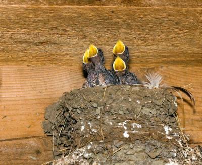 Newborns [swallows] in garage