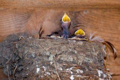 Barn Swallows Babies