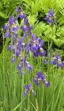 Marshy Iris